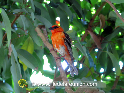 Le cardinal mâle (Geopolia striata) - Ile de la Réunion